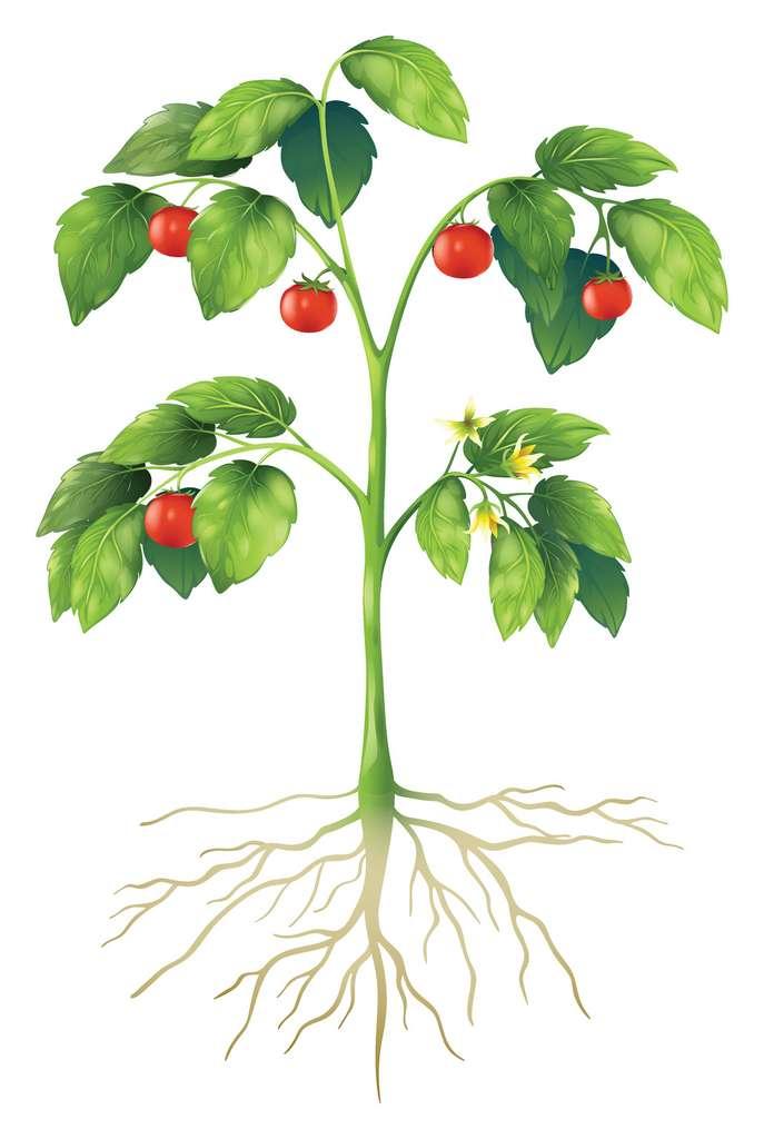 Les cormophytes possèdent une tige, des feuilles et des racines. © blueringmedia, Fotolia