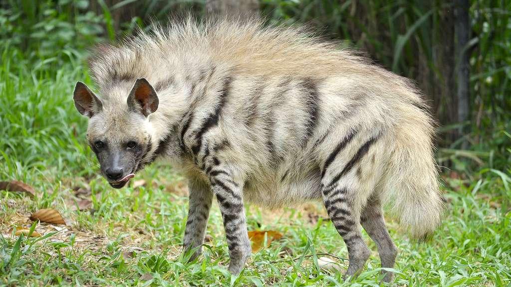 La hyène aussi s'habille de rayures