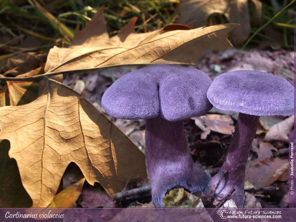 Cortinaire violet