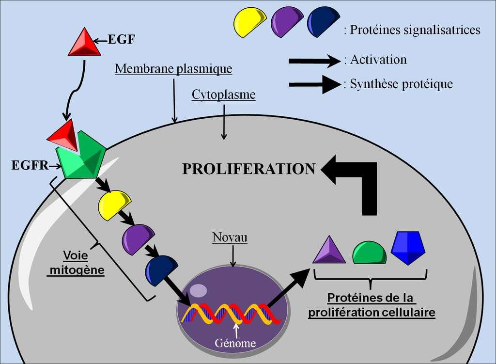 Figure 8. La signalisation de la prolifération cellulaire. En se fixant à son récepteur, l'EGF entraîne l'activation d'une cascade de signalisations, appelée voie mitogène, qui aboutit à la synthèse de protéines engendrant la prolifération cellulaire. © Grégory Ségala