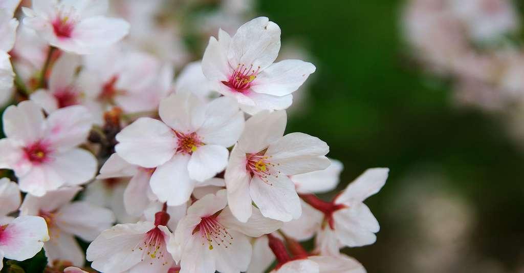 Les magnifiques fleurs de Prunus sargentii, le cerisier de Sargent. © Tomoki1970, Shutterstock
