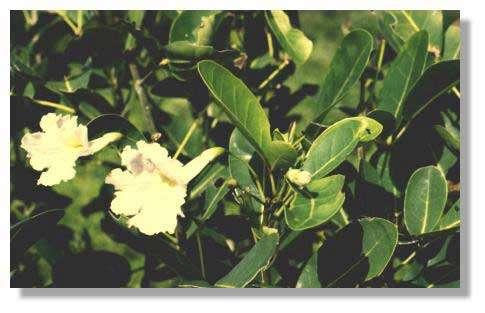 Poirier - Tabebuia pallida