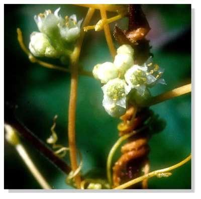 Plant de cuscute en fleur © Georges Sallé