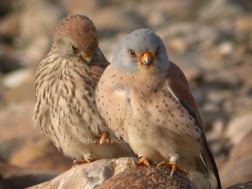 De retour en France, certains faucons crécerellettes choisissent la Crau pour s'accoupler. © Philippe Pilard, DR