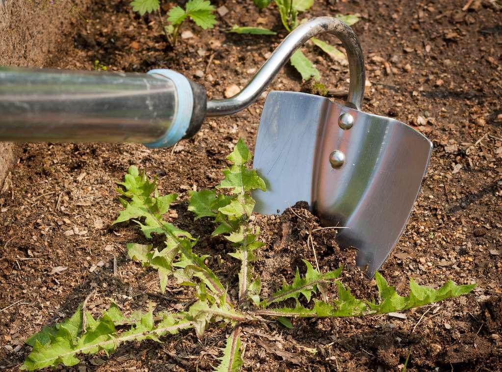 La binette permet d'arracher les mauvaises herbes. Un travail fastidieux pour les grandes surfaces. © ElenaMasiutkina, Adobe Stock