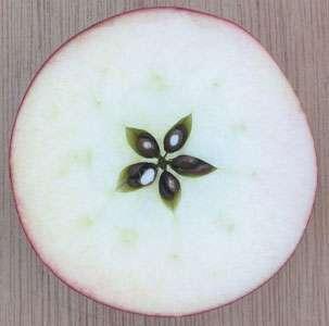 Coupe équatoriale d'une pomme