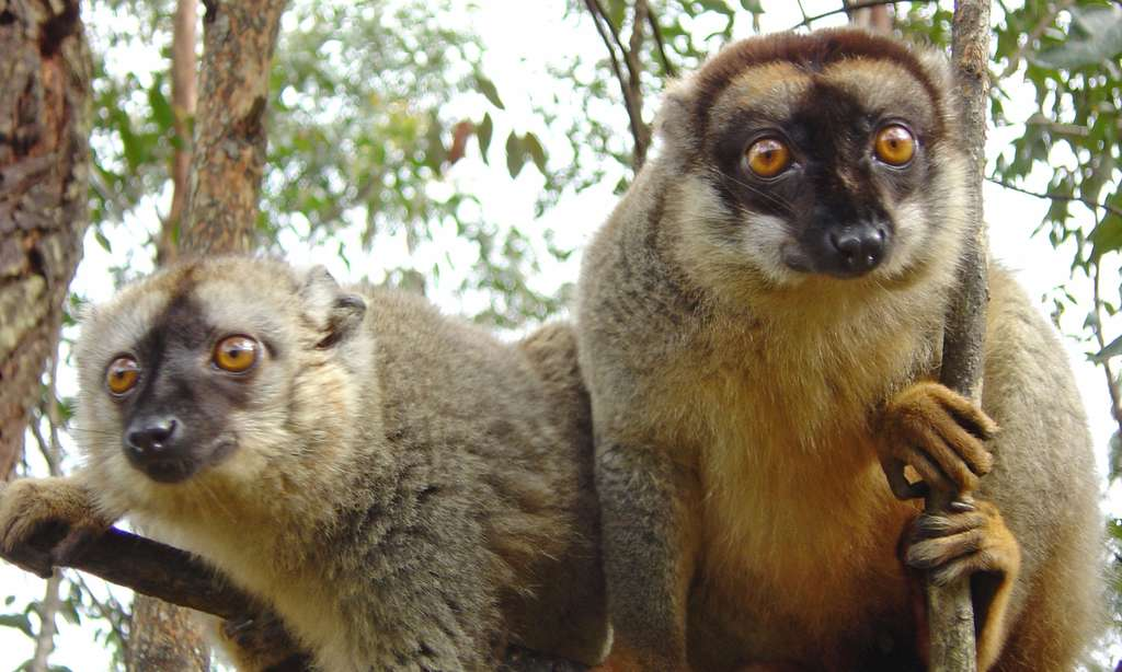 Lémurs bruns, Madagascar