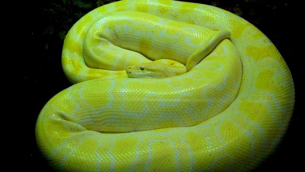 Le python birman et ses étreintes mortelles