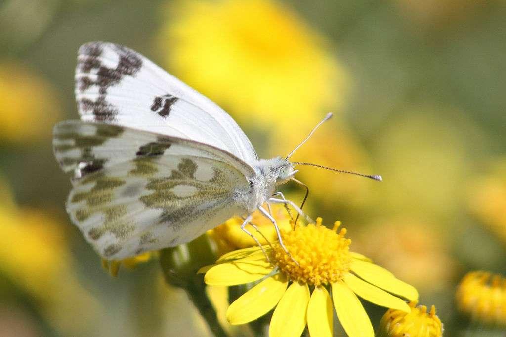 Les papillons, comme d'autres insectes, jouent un rôle essentiel dans la pollinisation des fleurs. © Charlesjsharp, Wikimedia Commons, cc by sa 3.0
