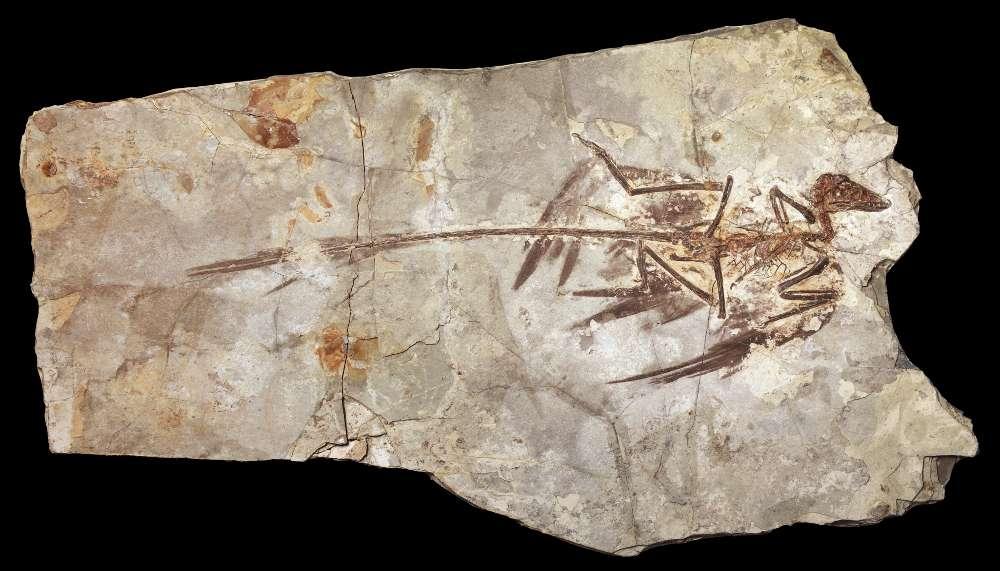 Le fossile du microraptor a été retrouvé dans des couches géologiques datant du début du Crétacé, dans la province chinoise de Liaoning. © Mick Ellison