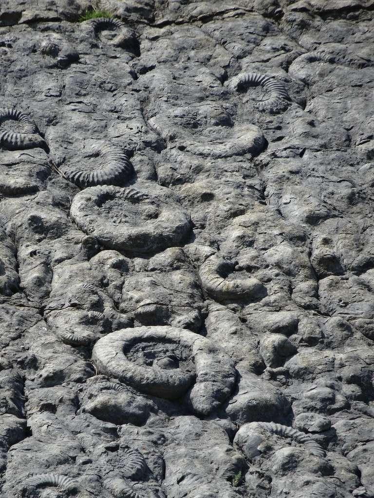 Détail de la dalle aux ammonites de Digne. © Banco de Imagenes Geologicas, Flickr