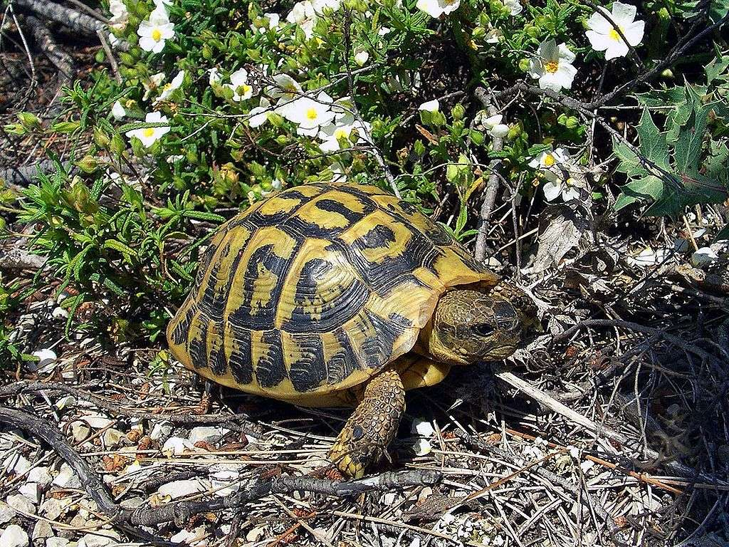 Tortue d'Hermann. © Orchi, Wikimedia Commons, CC by-sa 3.0