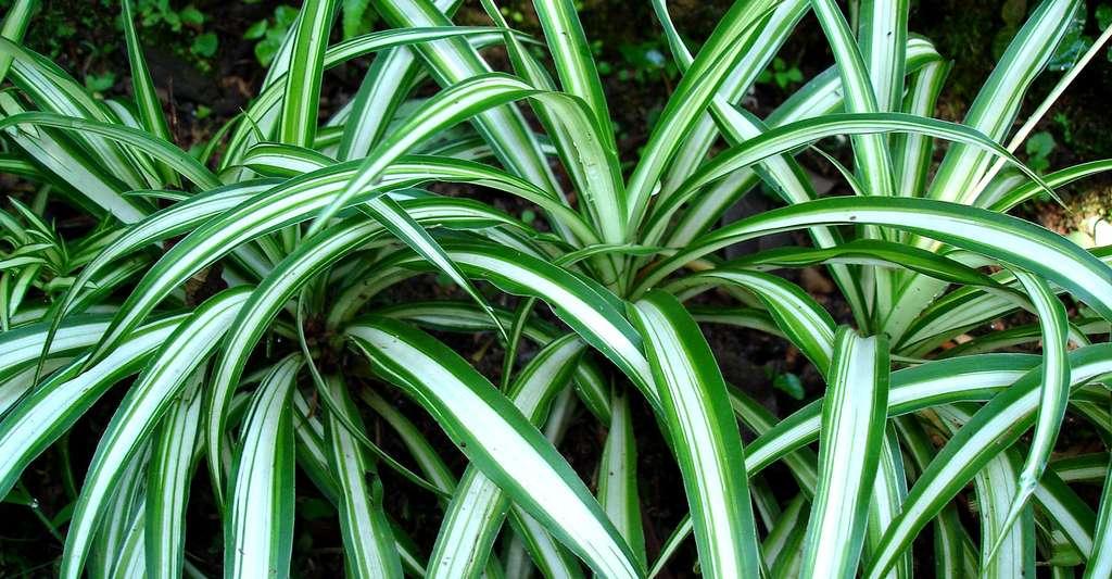 Chlorophytum comosum est aussi appelée « plante araignée », ou « chlorophytum chevelu ». © Eurico Zimbres, CC by-sa 2.5