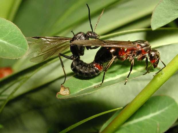 Accouplement d'une reine de Formica paralugubris après le vol nuptial. Le mâle à gauche va bientôt périr. La reine à droite va bientôt perdre ses ailes. © A. Maeder