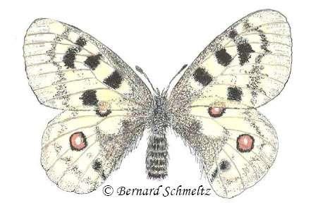 Parnassius apollo sewensis (dessin de l'auteur). © Bernard Schmeltz