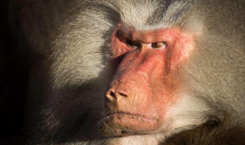 Les animaux sont aussi capables d'exprimer de la colère. © Skitterphoto, Pixabay, CC0 Creative Commons