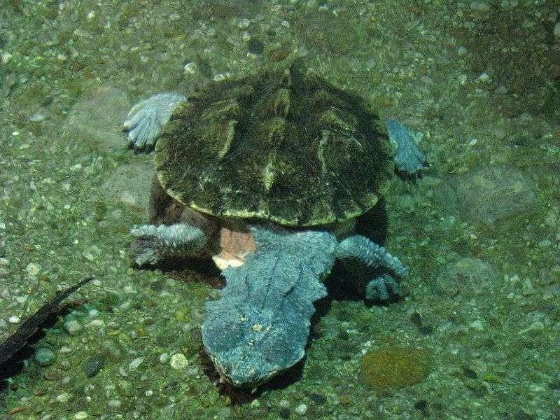 Image d'une matamata dont la carapace est recouverte d'algues, ce qui l'aide à se camoufler. © Michael Gil, Wikipédia, cc by 2.0