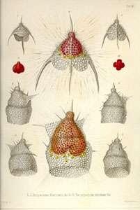 Illustration de radiolaires décrits par Haeckel. Planche VIII extraite de Haeckel 1862.