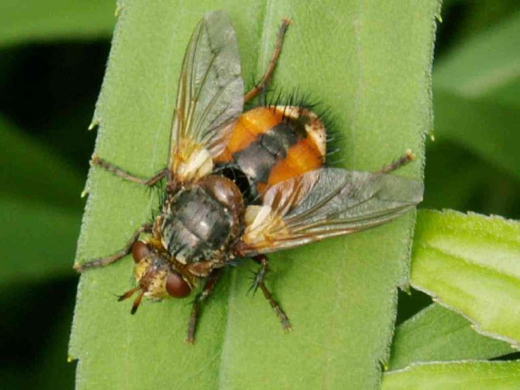Tachina fera - Tachinaire ou mouche des chenilles