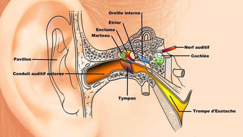 Lorsque le changement de pression est trop rapide, le tympan se rétracte et entraîne la sensation d'oreille bouchée. © Didier Descouens
