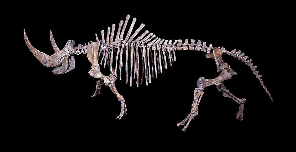 Squelette entier de rhinocéros laineux. © Muséum de Toulouse, CC by-sa 4.0