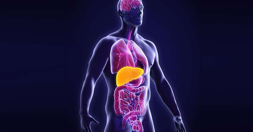 Le cholestérol est transporté vers le foie pour y être dégradé. © Nerthuz, Shutterstock