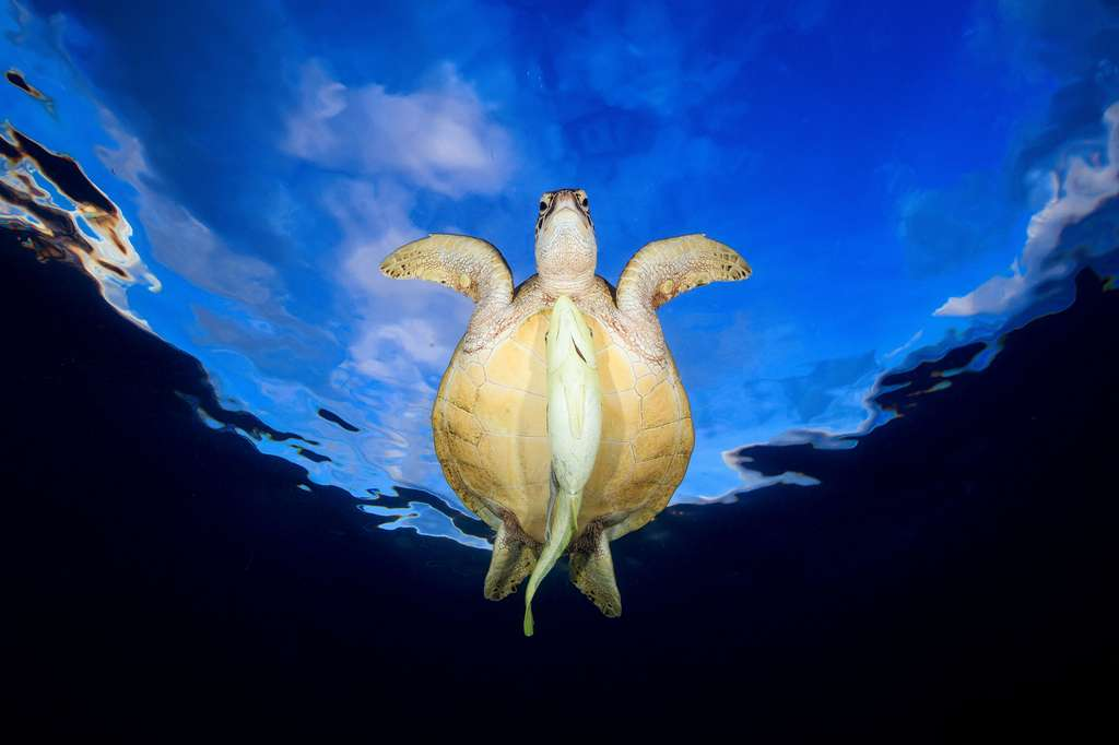 Tortue verte à la recherche d'un herbier marin sur un récif de Mayotte