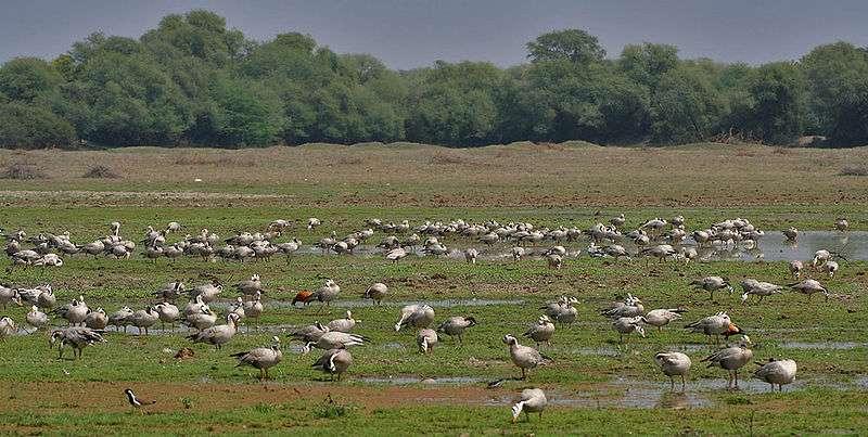 Troupe d'oies à tête barrée à Bharatpur en Inde. © J.M Garg, Wikipedia, GNU FDL 1.2