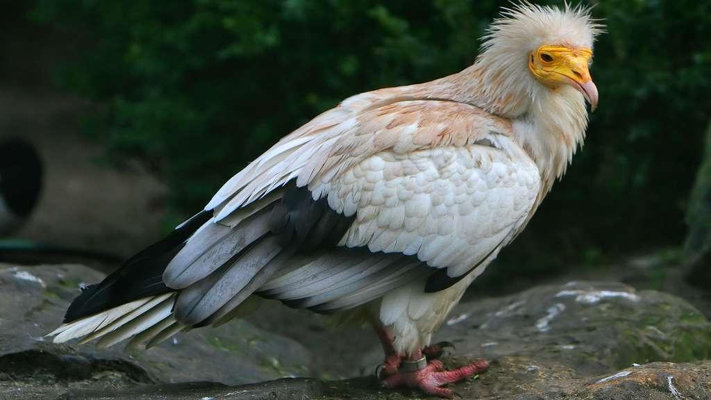 Le vautour percnoptère, originaire d'Égypte