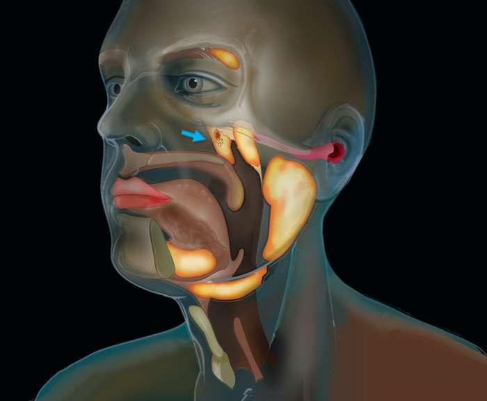 Modélisation des glandes tubariales. © The Netherlands Cancer Institute