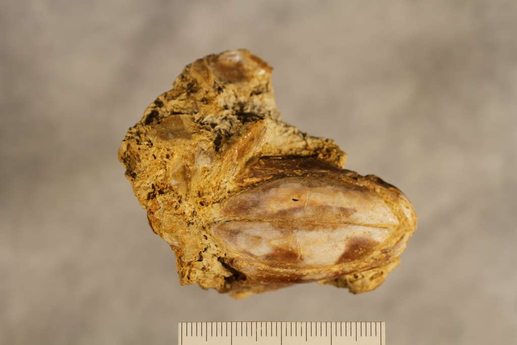 Le fossile ayant permis la description de Reidus hilli, une nouvelle espèce de cœlacanthe. Cet animal appartenait à la famille des dipluridés, un nom donné en hommage au plus jeune cœlacanthe du Trias, le Diplurus. © SMU Research Blog