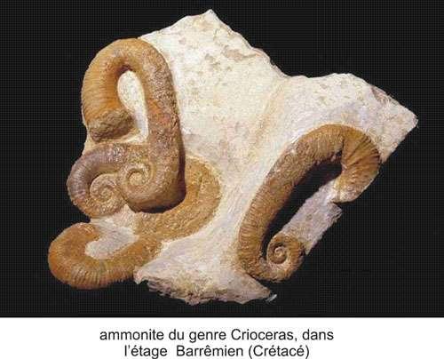 Les ammonites ont disparu à la fin du Crétacé. © DR