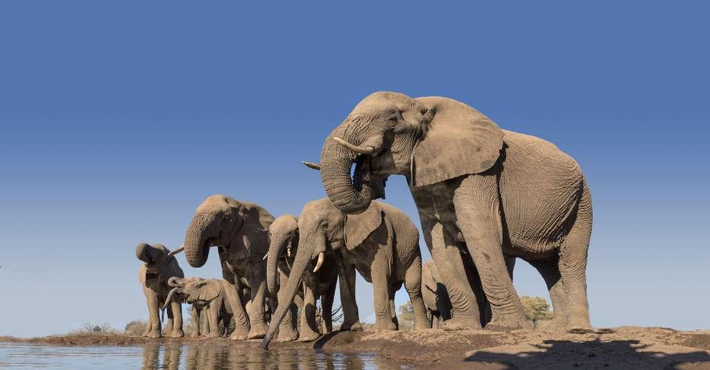Troupeau d'éléphants loxodonta africana. © Mark Dumbleton - Shutterstock