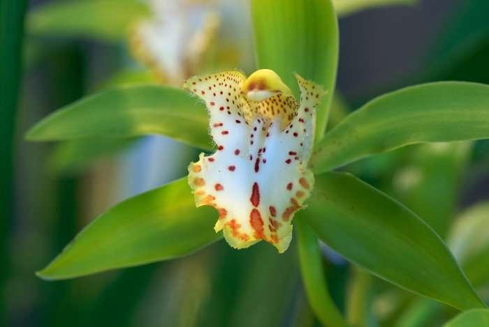 Orchidée Cymbidium hookerianum Cinnabar