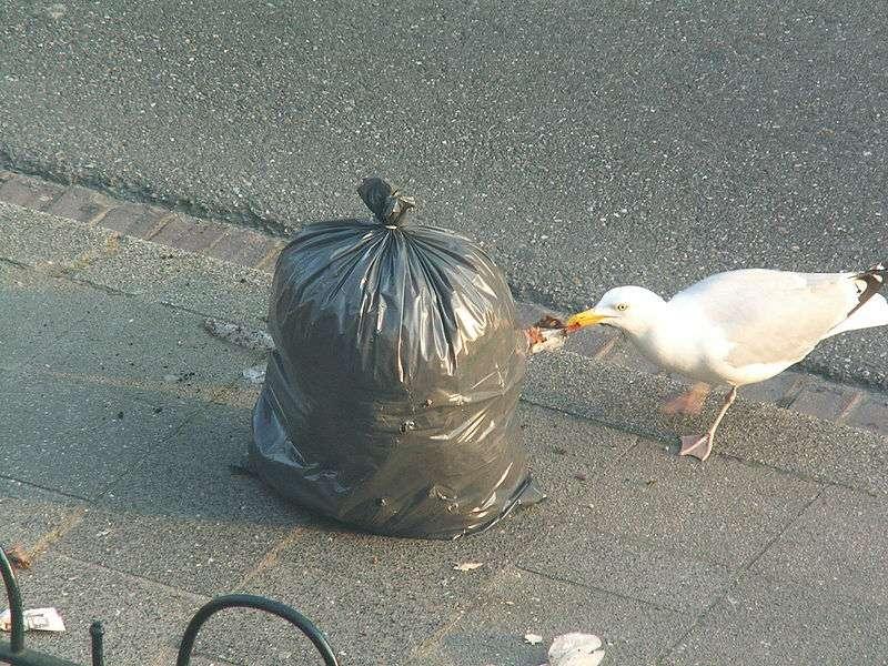 Goéland éventrant une poubelle. © Opuntia, GNU FDL Version 1.2