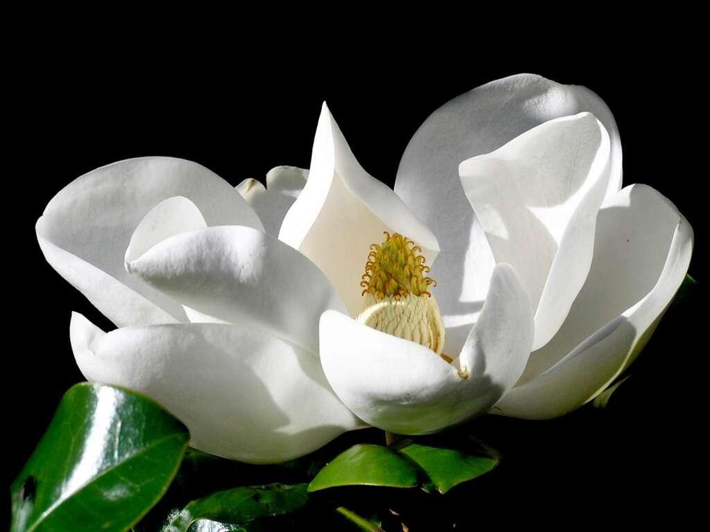 Magnolia grandiflora. © pcgn7-Flickr CC by nc 2.0