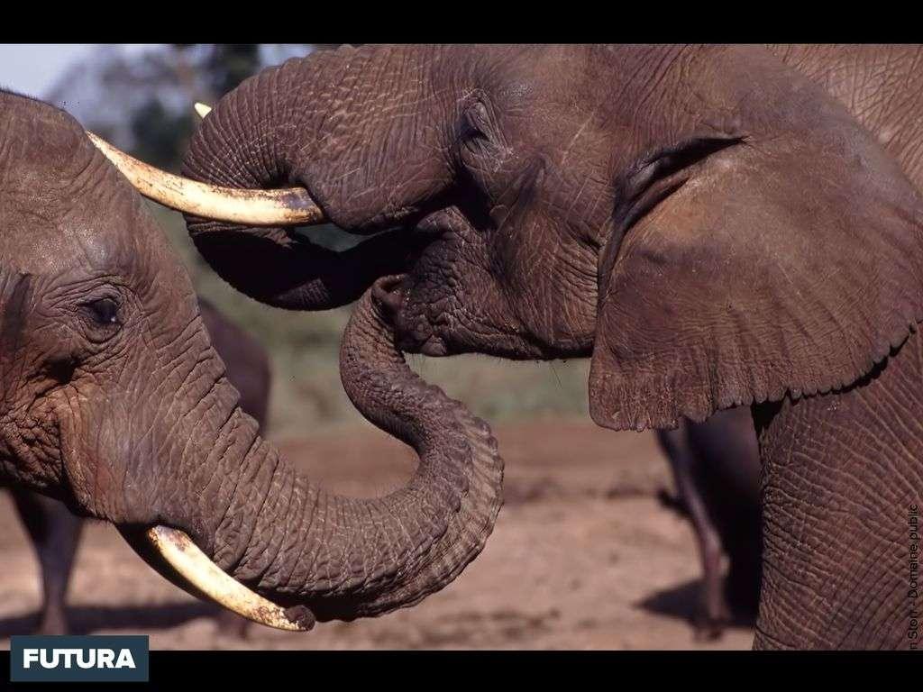 Conversation entre éléphants
