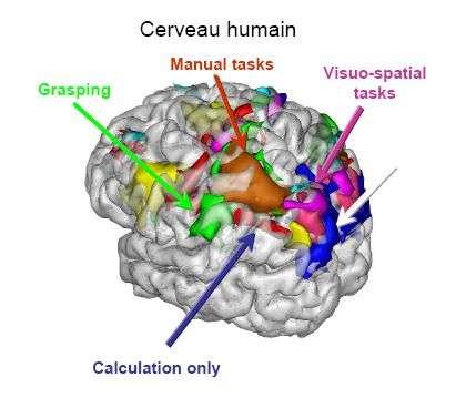 Nombres et longueurs sont codés par des neurones très proches dans le cortex pariétal. Crédit : Stanislas Dehaene