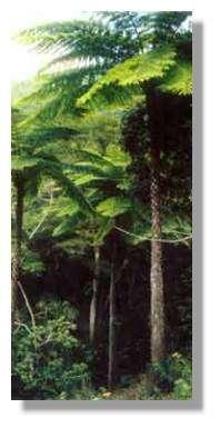 Cyathea : la grande fougère arborescente de Nouvelle-Calédonie. © Frédéric Bec