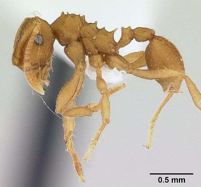 Chez Mycocepurus smithii, la reproduction n'est jamais sexuée. © April Nobile Creative Commons Attribution-Share Alike 3.0 Unported license