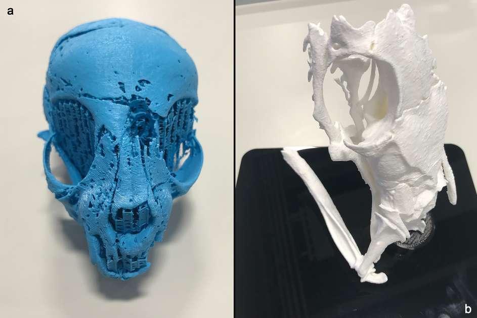 Impression 3D du crâne de chat (à gauche) et de celui de serpent (à droite). © Université de Swansea