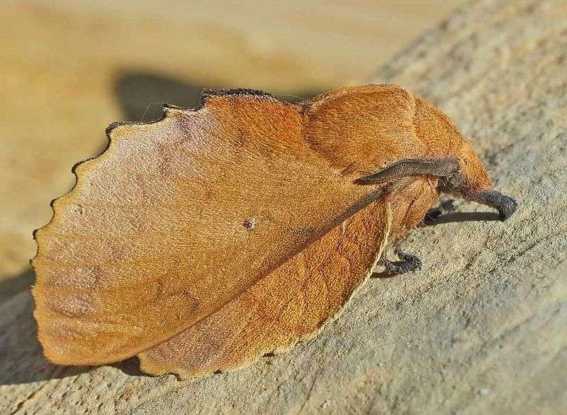 Un papillon, Gastropacha quercifolia, mimant une feuille morte. © Entomart