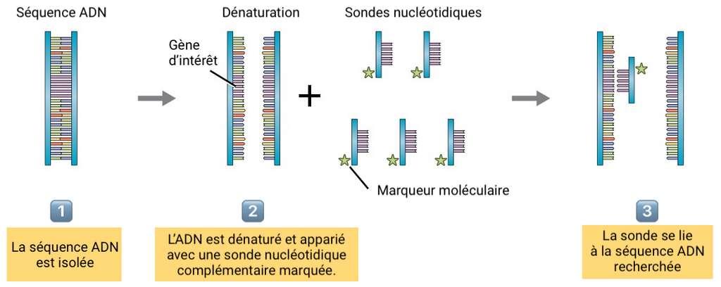 Le principe de l'hybridation moléculaire. © BCcampus, adaptation et traduction C.D pour Futura
