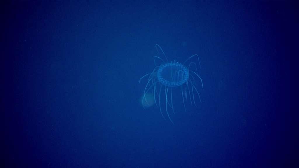 Une méduse du genre Solmissus a été filmée à 900 mètres de profondeur. © NOAA Ocean Exploration, 2021 North Atlantic Stepping Stones : New England and Corner Rise Seamounts