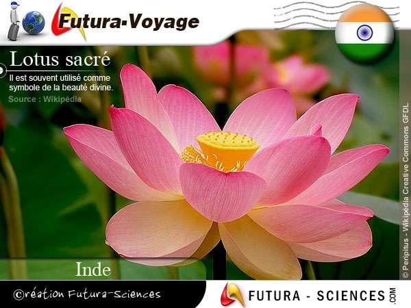 Lotus sacré - Inde