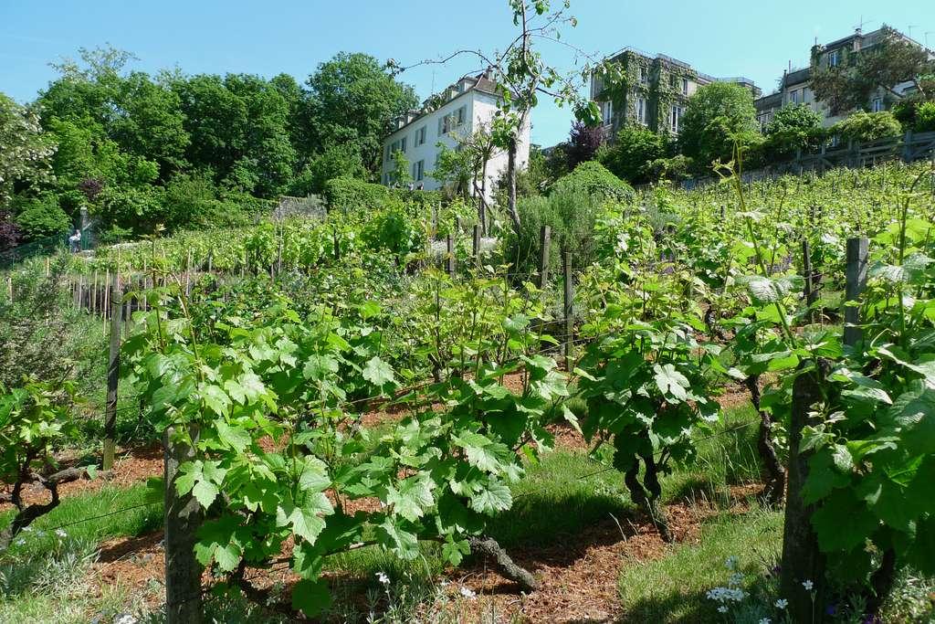 Vignes à Montmartre. Il n'en reste plus que quatre dans Paris. © luzulee, fotolia