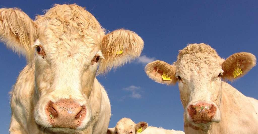 Le méthane est un produit de la digestion incomplète lors de la fermentation gastrique des ruminants. © 3dman eu, Pixabay, DP