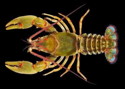 L'écrevisse Barbicambarus simmonsi possède des poils sur les antennes et une queue colorée. © Carl Williams