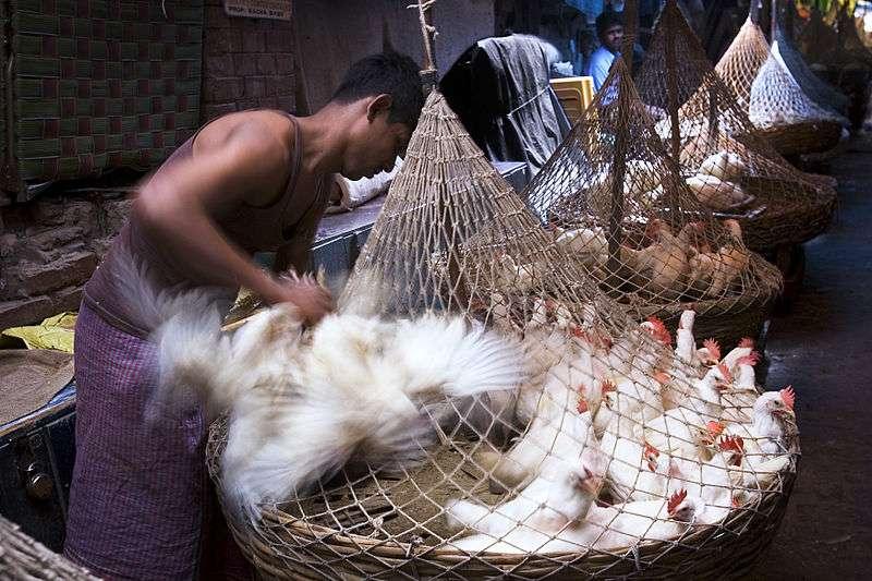 La grippe aviaire H7N9 a souvent frappé depuis les marchés aux oiseaux dans les grandes villes chinoises. Alors que l'épidémie touche l'ensemble du pays, les autorités craignent qu'elle ne s'étende aux pays voisins... © Jorge Royan, Wikimedia Commons, cc by sa 3.0