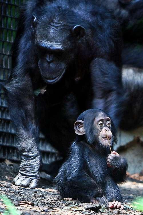 Les petits chimpanzés apprennent dès leur jeune âge à faire des sons qui attirent l'attention de leurs mères. © Steve, Wikimedia Commons, CC by-sa 2.0